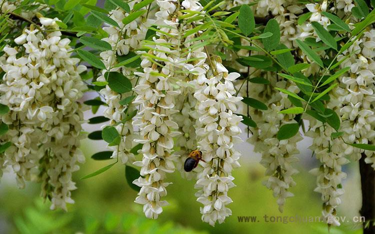 槐花开 蜂蜜香 跟我去爱好风光