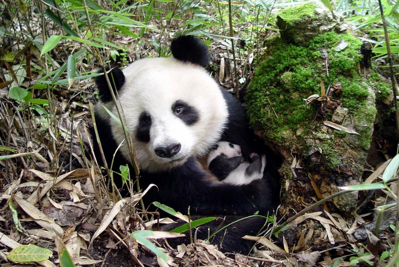 大熊猫母子