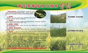 长寿草天然富硒黄花菜
