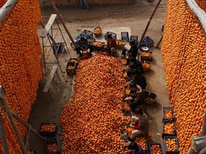 金秋十月,我们一起去马坡做柿饼[图]