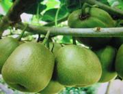 眉县猕猴桃