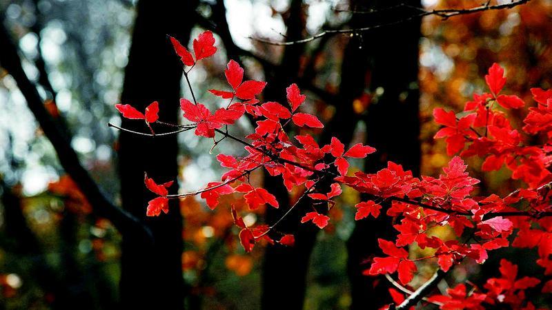 梧桐树的叶子渐渐变黄,风一吹,树叶就像一只跳舞的蝴蝶在天空打着旋