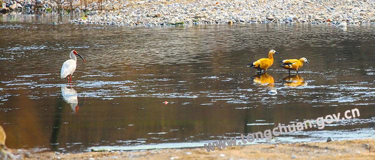 灵动可爱的赤麻鸭