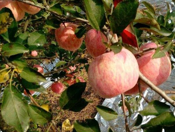 凤翔县雍州苹果